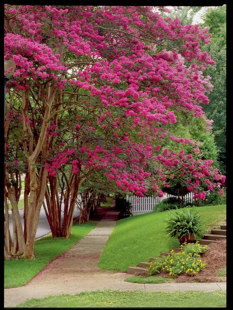 beginners guide  crepe myrtle care home crepe