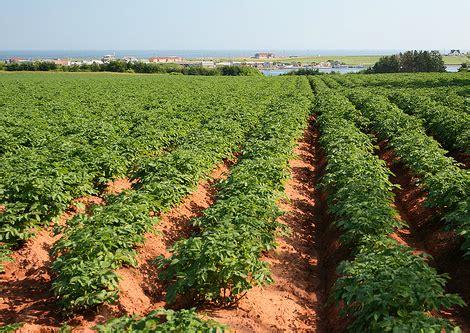 pomme de terre planter des pommes de terre jardinage bio