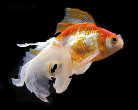 Goldfish Wallpapers Wallpaper Cave HD Wallpapers Download Free Images Wallpaper [1000image.com]