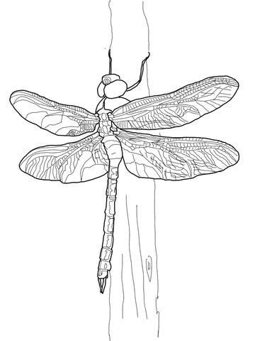 Green Darner Dragonfly Coloring page   COLORING PAGES