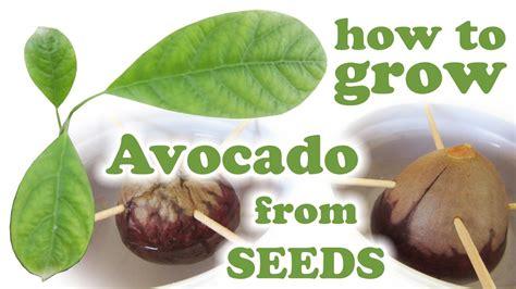 tips ideas   plant  avocado seed   home