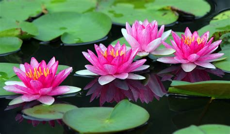 Beautiful Lotus Flower - Cindy Libman