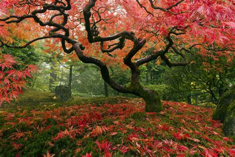 maple tree japanese 22 of the most beautiful magnificent trees in the world listsurge