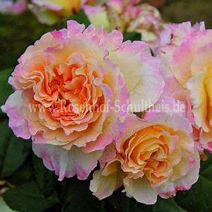 Rosen Düngen Im Frühjahr : aquarell rosen online kaufen im rosenhof schultheis rosen online kaufen im rosenhof schultheis ~ Orissabook.com Haus und Dekorationen