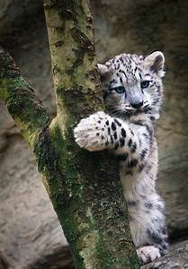 Baby white tiger | Felines.. Cats..Tigers, Panthers, etc ...