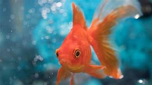 Why Goldfish Make Their Own Alcohol