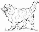 Shepherd Coloring Australian Pages Printable Getcolorings sketch template