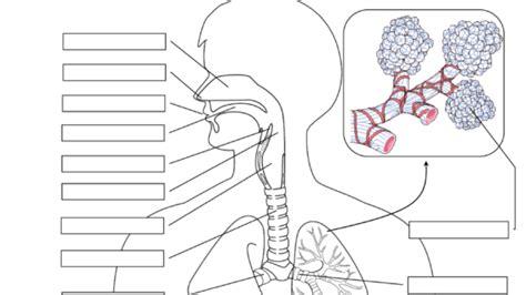 label respiratory system respiratory system labeling