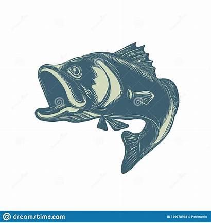 Barramundi Vector Illustration Fish