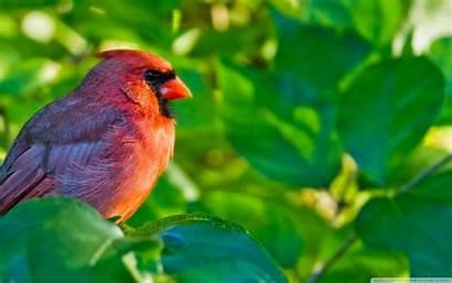 Cardinal Birds Desktop Cardinals Computer Northern Bird