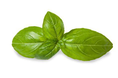 basil leaves pics shannon hardy herbs