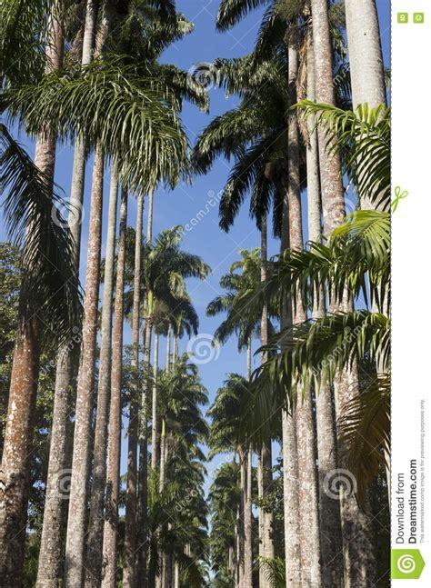 de brazil palm gardens royal palm trees at botanical garden in de janeiro
