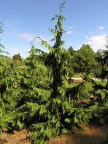 blue weeping alaska cedar katsura gardens