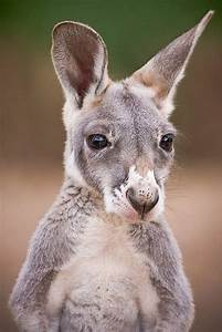 54 best images about kangaroo on Pinterest | Nap times ...