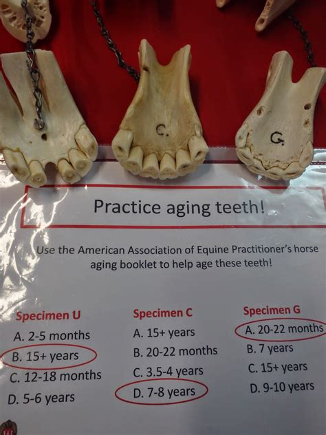 horse teeth cups horses born indents midwest north called