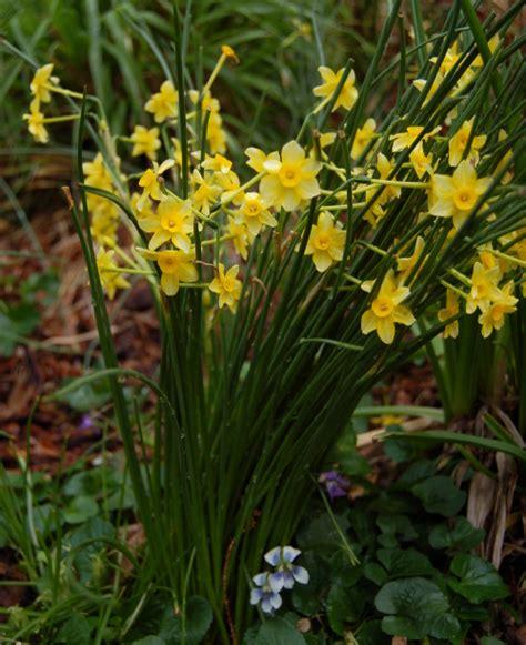 fantastic daffodils the world s best gardening