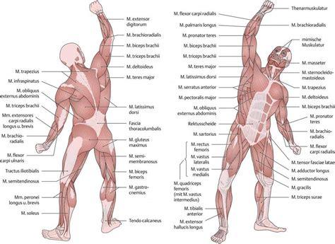 malvorlage muskeln skelett malvorlagencr