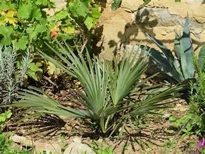 Trachycarpus Fortunei Auspflanzen : trachycarpus nanus internetplattform und online shop f r frostvertr gliche ~ Eleganceandgraceweddings.com Haus und Dekorationen