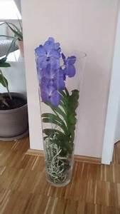Orchidee Vanda Pflege : vanda orchidee pflegen schneiden veredeln green24 ~ Lizthompson.info Haus und Dekorationen