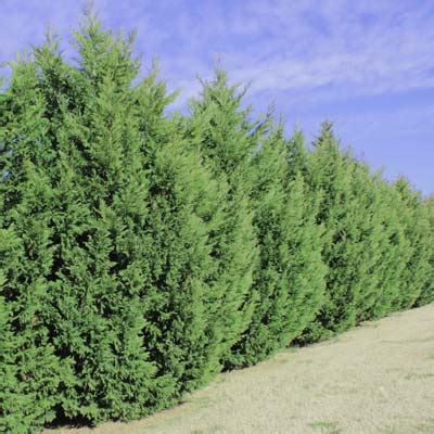 fast growing trees for privacy the most popular privacy evergreen very fast growing