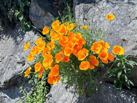 wallflower plants growing wallflowers flowers garden