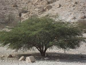 Broom Tree