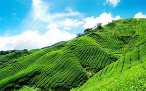 Green tea valley HD Desktop Wallpaper