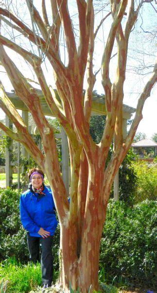 natchez crape myrtle backyard crepe myrtle trees