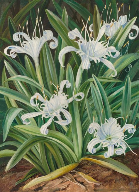 463 An Asiatic Pancratium, Colonised In The Seychelles