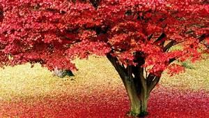 Baum Mit Roten Blättern : 65 sch ne hintergrundbilder zum herbst ~ Eleganceandgraceweddings.com Haus und Dekorationen