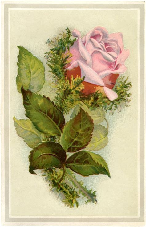 gorgeous vintage pink moss rose image  graphics fairy
