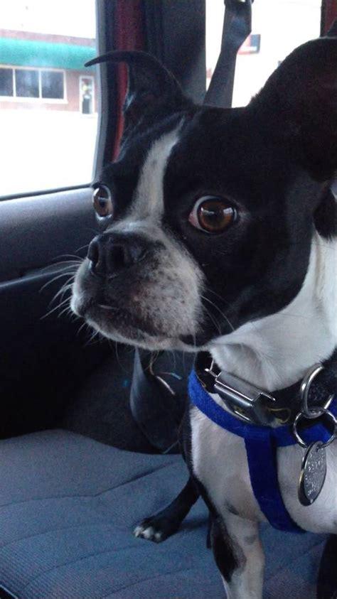 boston terrier impersonates  goat   dolphin youtube