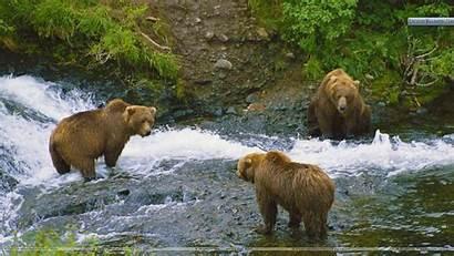 Alaska Brown Desktop Bear Computer Wallpapers Bears