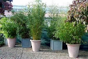 Bambus Als Sichtschutz Im Kübel. bambus kubel sichtschutz terrasse ...