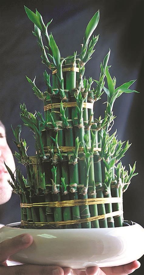 best food for bamboo plants a lucky bamboo plant is the gift that keeps on giving good fortune unless you kill it the