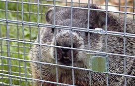 Image result for groundhog tunnels under shed