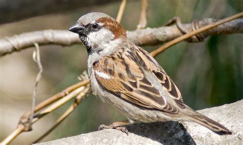 top 28 house sparrow facts house sparrow facts house