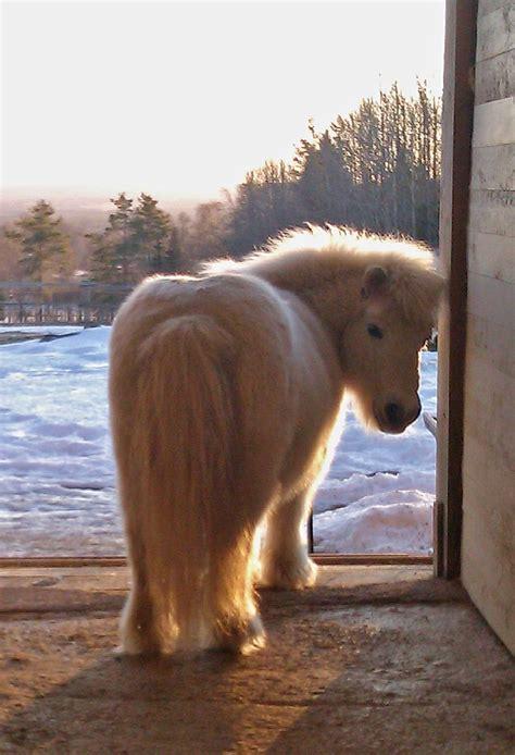pony shetland ponies miniature horses horse mini cute fuzzy animals baby fluffy mascot pretty breeds around poney cutest ponys winter