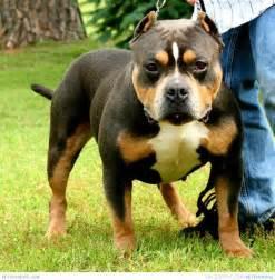Tri Color American Bully Dog