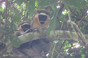 FAU first to video newly discovered population of monkeys ...