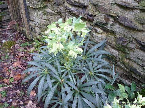 helleborus foetidus helleborus foetidus penlan perennials nursery