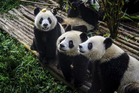 pandas panda bamboo called breakfast chengdu enjoying research base china facts bear wild shutterstock