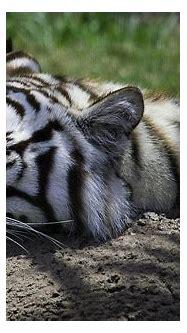 Sleeping White Tiger Photograph by Jay Droggitis