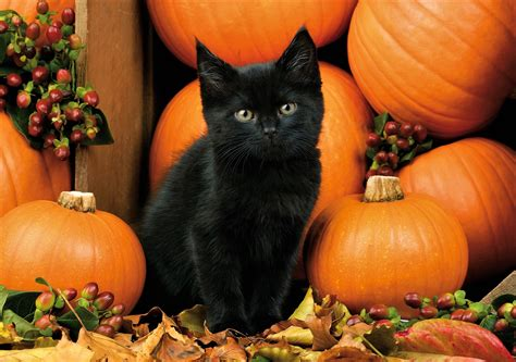 Wallpaper Cat And Pumpkin by Black Kitten With Pumpkins Hd Wallpaper Background Image