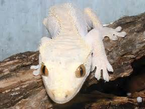 new crested gecko book ssnakess reptile forum