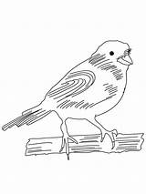 Canary Coloring Pages Birds Printable sketch template