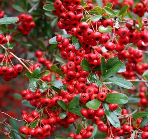 berried shrub bushes with red berries