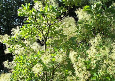 Mediterrane Kübelpflanzen Winterhart weisser per 252 ckenstrauch als ideale winterharte mediterrane