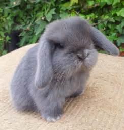 12 Mini Lop Bunny Rabbits for Sale Decatur, Alabama ...