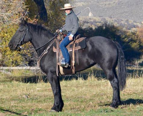 percheron riding horse draft horses stallion mare info history horsebreedspictures